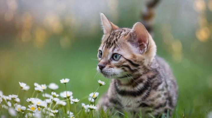 bengal-kitten-in-flower-meadow-picture-id905117504-2