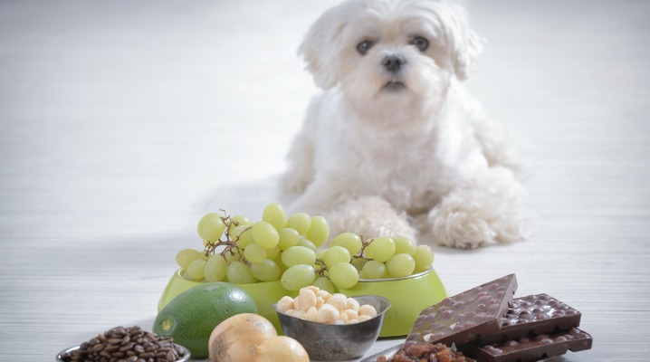 little-dog-and-food-toxic-to-him-picture-id903316710-1